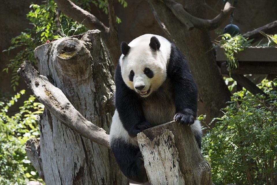 Čína bojuje za záchranu pand